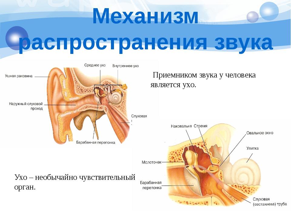 Приемником звука у человека является ухо. Ухо – необычайно чувствительный ор...