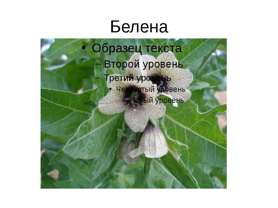 Белена