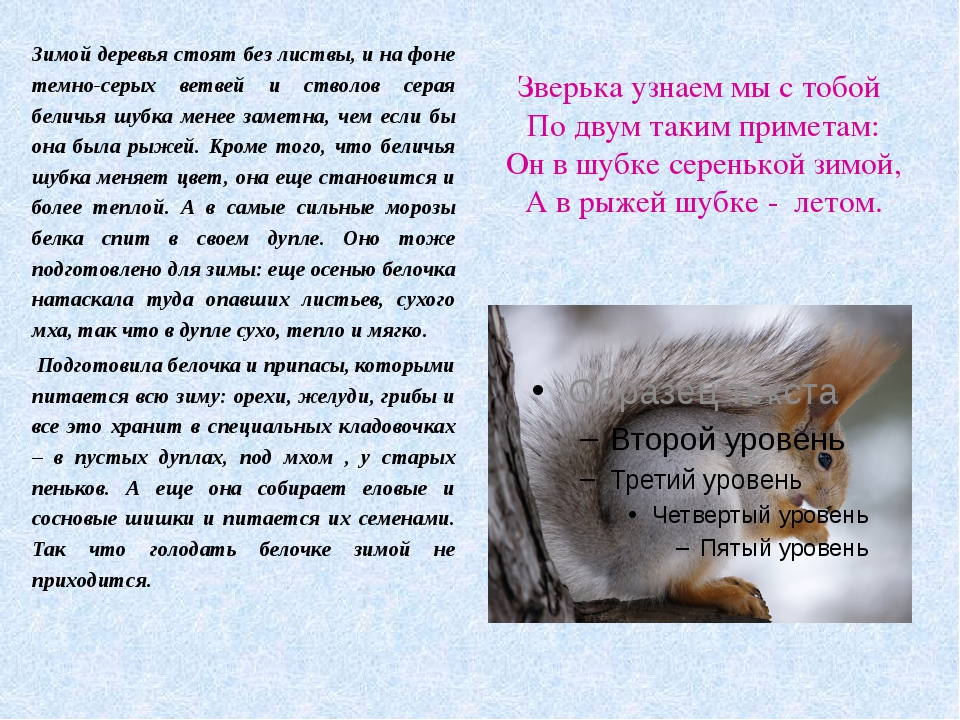 Зверька узнаем мы с тобой По двум таким приметам: Он в шубке серенькой зимой,...