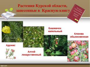 Растения Курской области, занесенные в Красную книгу Адонис Алтей лекарственн