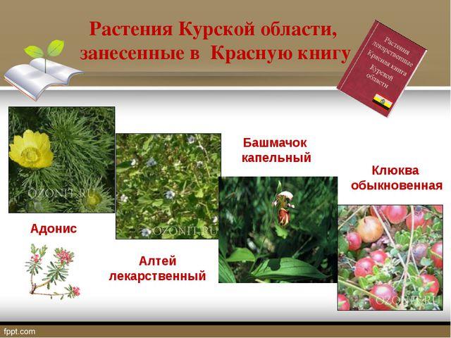 Растения Курской области, занесенные в Красную книгу Адонис Алтей лекарственн...