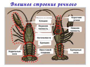 Внешнее строение речного рака Головогрудь Брюшко Хвостовой плавник Ходильные