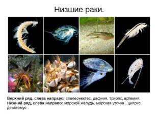 Низшие раки. Верхний ряд, слева направо: спелеонектес, дафния, триопс, артеми