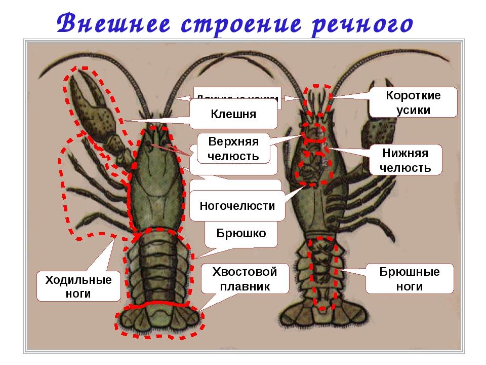 Внешнее строение речного рака Головогрудь Брюшко Хвостовой плавник Ходильные...