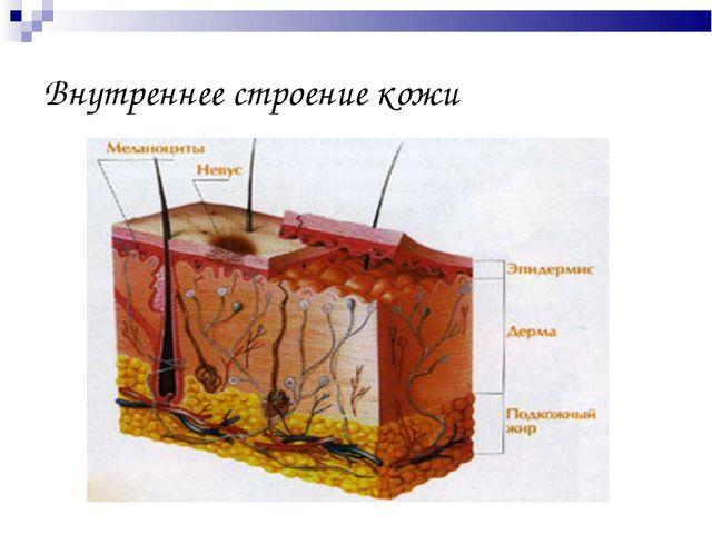 Внутреннее строение кожи