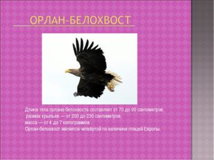 Длина тела орлана-белохвоста составляет от 70 до 90 сантиметров, размах крыль