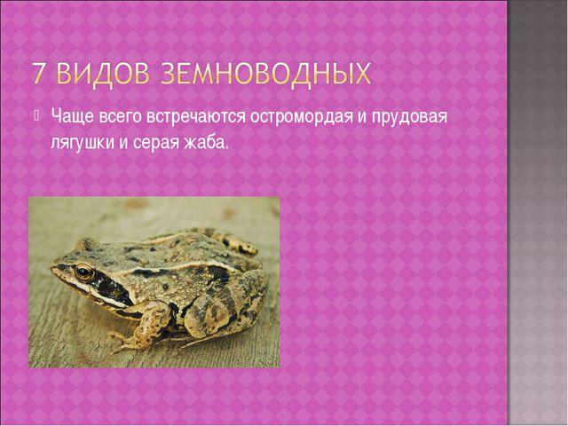 Чаще всего встречаются остромордая и прудовая лягушки и серая жаба.