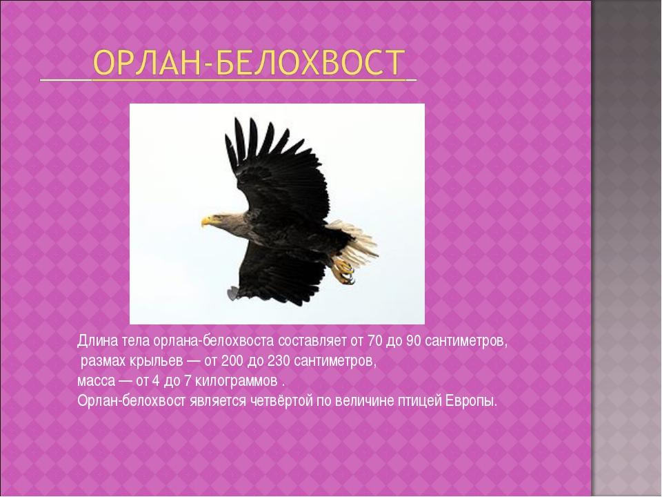 Длина тела орлана-белохвоста составляет от 70 до 90 сантиметров, размах крыль...