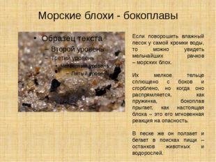 Морские блохи - бокоплавы Если поворошить влажный песок у самой кромки воды,