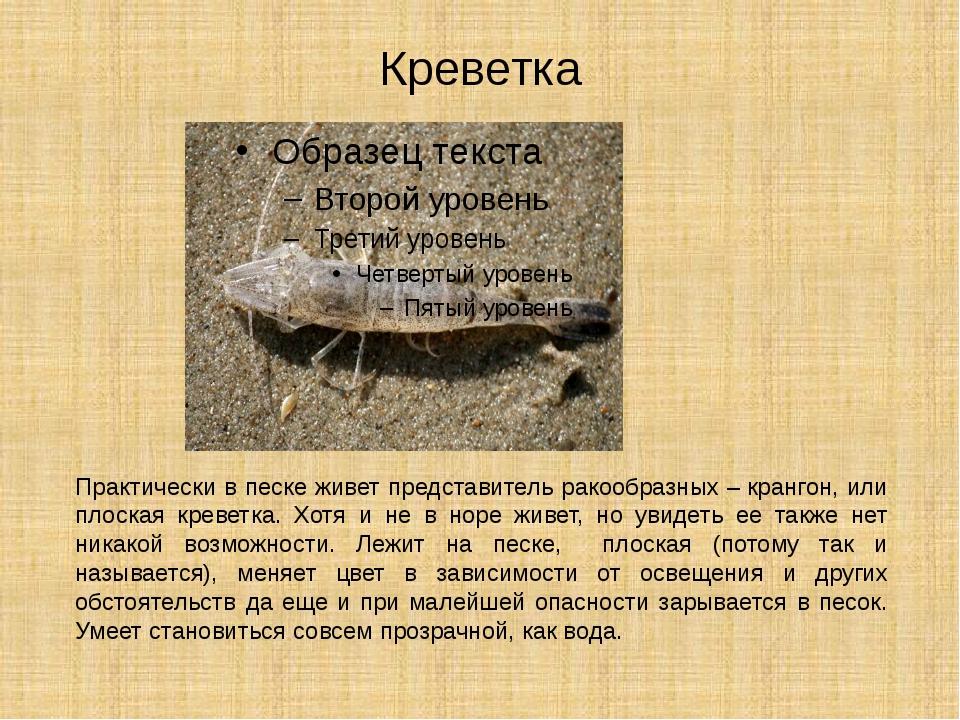 Креветка Практически в песке живет представитель ракообразных –крангон, или...