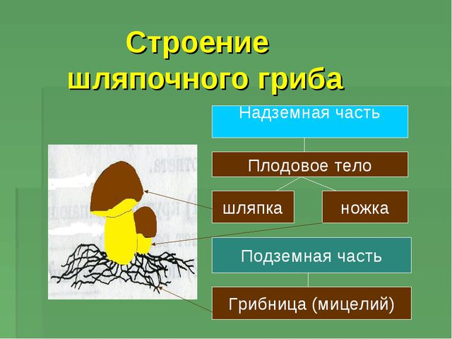 Строение шляпочного гриба Надземная часть Плодовое тело шляпка ножка Подземн...