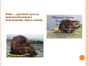 Бобр — крупный грызун, приспособленный к полуводному образу жизни.
