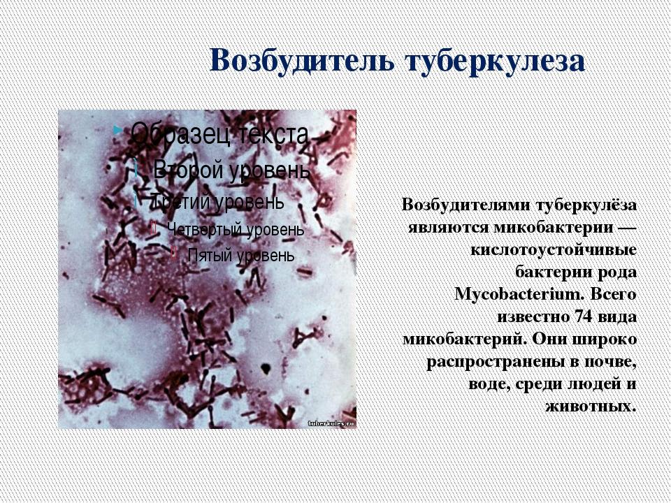 Возбудитель туберкулеза Возбудителями туберкулёза являются микобактерии — кис...
