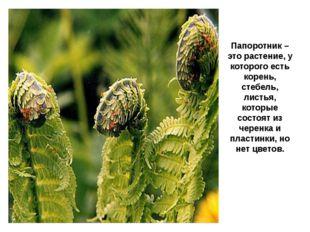 Папоротник – это растение, у которого есть корень, стебель, листья, которые с