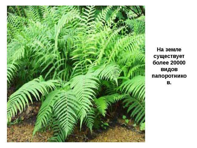 На земле существует более 20000 видов папоротников.