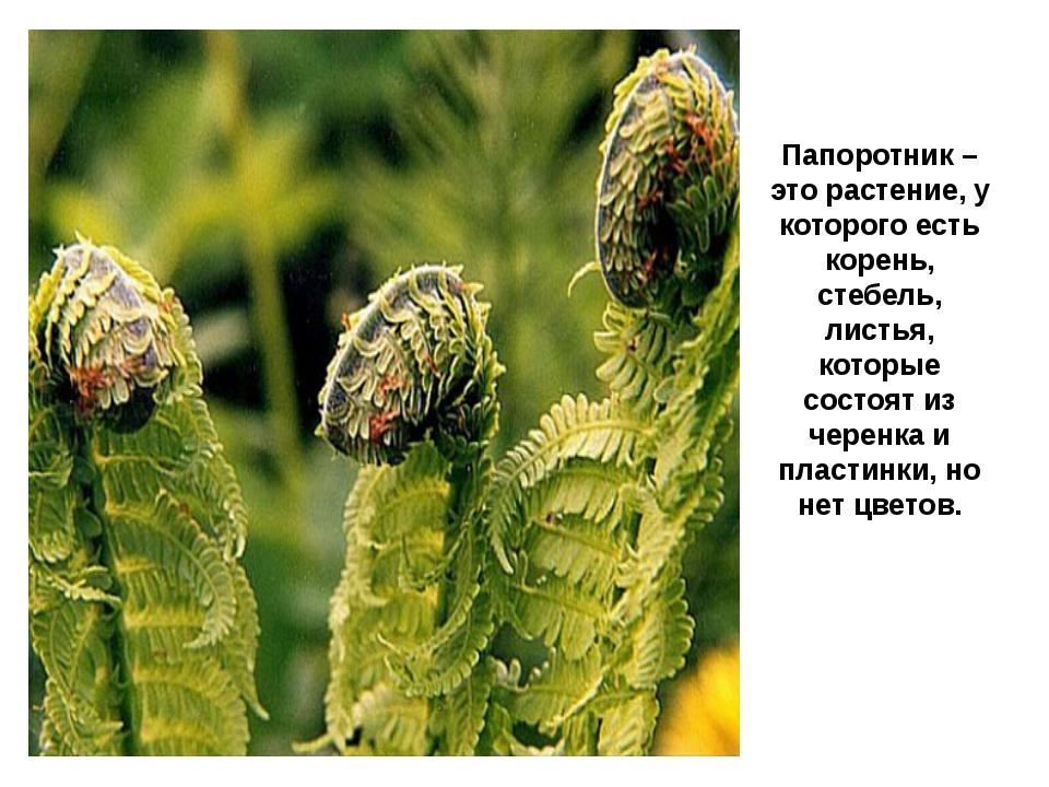 Папоротник – это растение, у которого есть корень, стебель, листья, которые с...