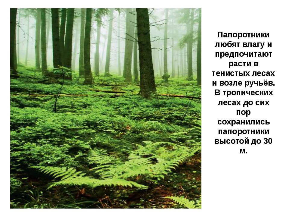 Папоротники любят влагу и предпочитают расти в тенистых лесах и возле ручьёв....