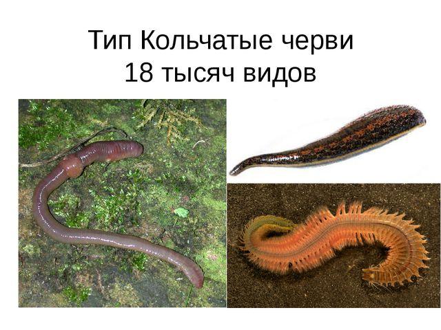 Тип Кольчатые черви 18 тысяч видов