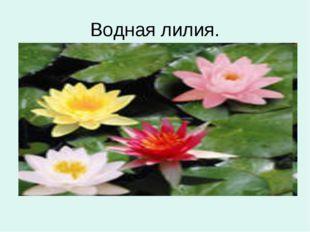 Водная лилия.