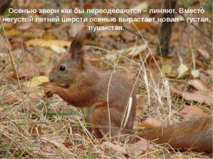 Осенью звери как бы переодеваются – линяют. Вместо негустой летней шерсти осе