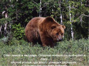 Спит зимой и медведь. Поздней осенью он выбирает в лесу глухой уголок, где мн