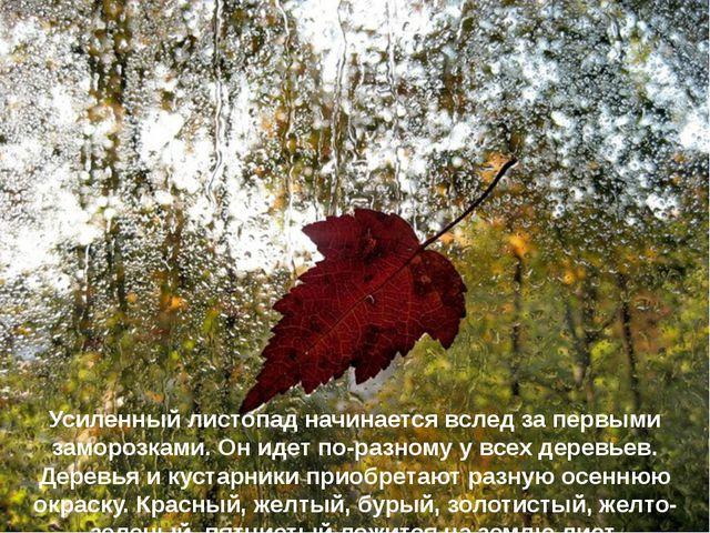 Усиленный листопад начинается вслед за первыми заморозками. Он идет по-разном...