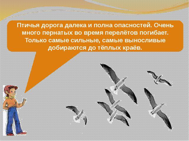 Птичья дорога далека и полна опасностей. Очень много пернатых во время перелё...
