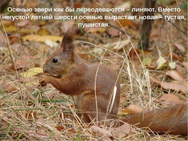 Осенью звери как бы переодеваются – линяют. Вместо негустой летней шерсти осе...
