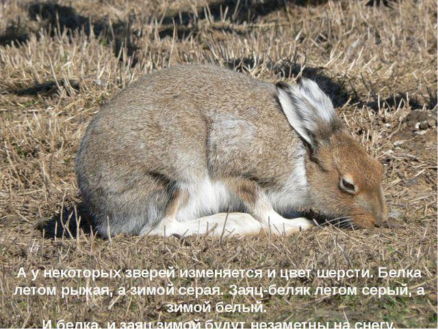 А у некоторых зверей изменяется и цвет шерсти. Белка летом рыжая, а зимой сер...
