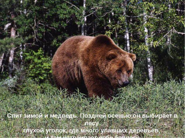 Спит зимой и медведь. Поздней осенью он выбирает в лесу глухой уголок, где мн...