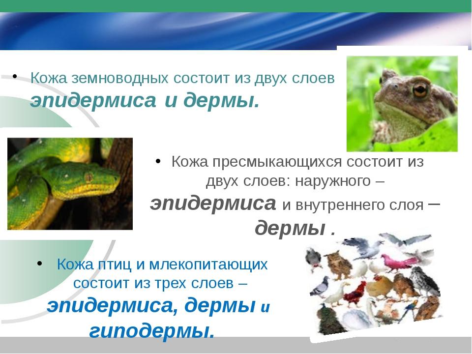 Кожа земноводных состоит из двух слоев эп– эпидермиса и дермы. Кожа птиц и мл...