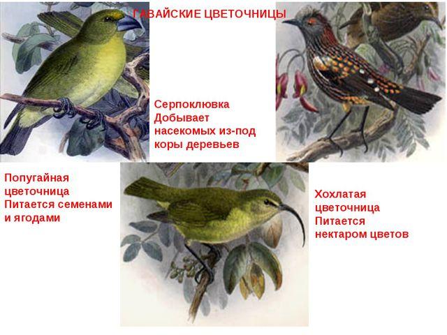 Попугайная цветочница Питается семенами и ягодами Серпоклювка Добывает насеко...