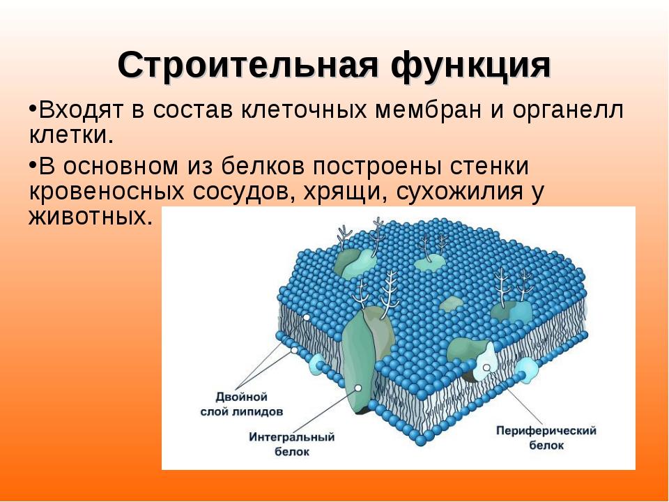 Строительная функция Входят в состав клеточных мембран и органелл клетки. В о...