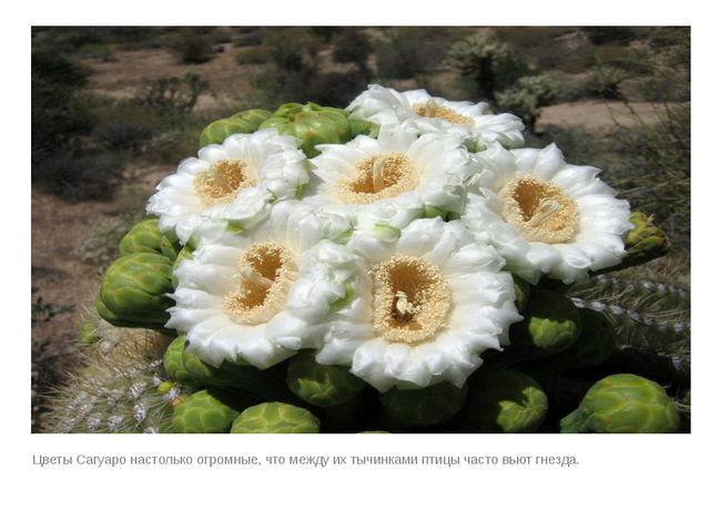 Цветы Сагуаро настолько огромные, что между их тычинками птицы часто вьют гн...