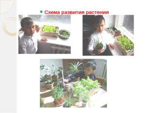 Схема развития растения