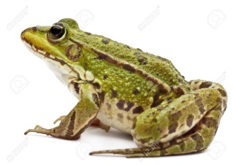 C:\Users\Нина\Pictures\11183398-Common-European-frog-or-Edible-Frog-Rana-esculenta-in-front-of-white-background-Stock-Photo.jpg