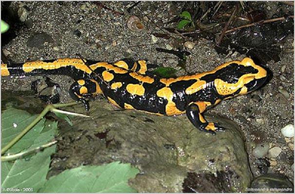 C:\Users\Нина\Pictures\salamandra07.jpg