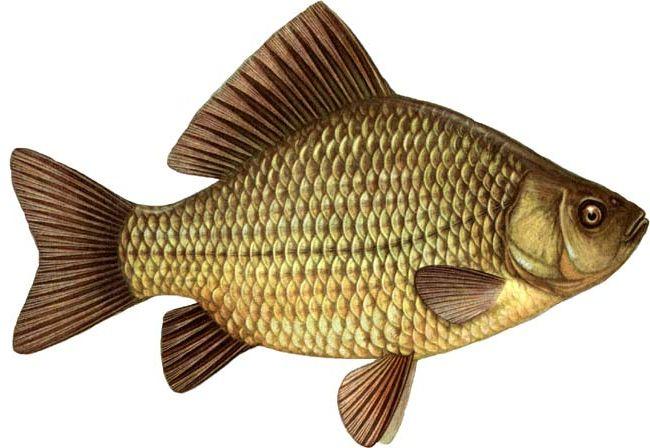 http://www.fiord-fish.ru/content/image/karas.jpg