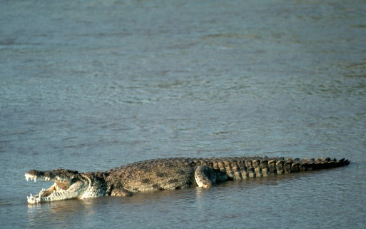 C:\Users\Нина\Pictures\baby-saltwater-crocodile-10.jpg