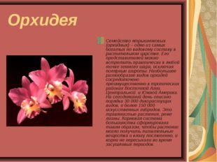 Орхидея Семейство ятрышниковых (орхидных) – одно из самых богатых по видовому