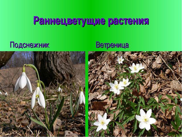 Раннецветущие растения Подснежник Ветреница