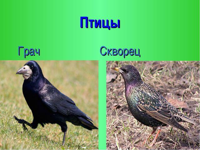 Птицы Грач Скворец