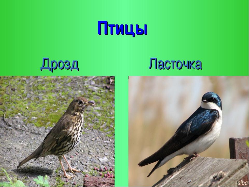 Птицы Дрозд Ласточка