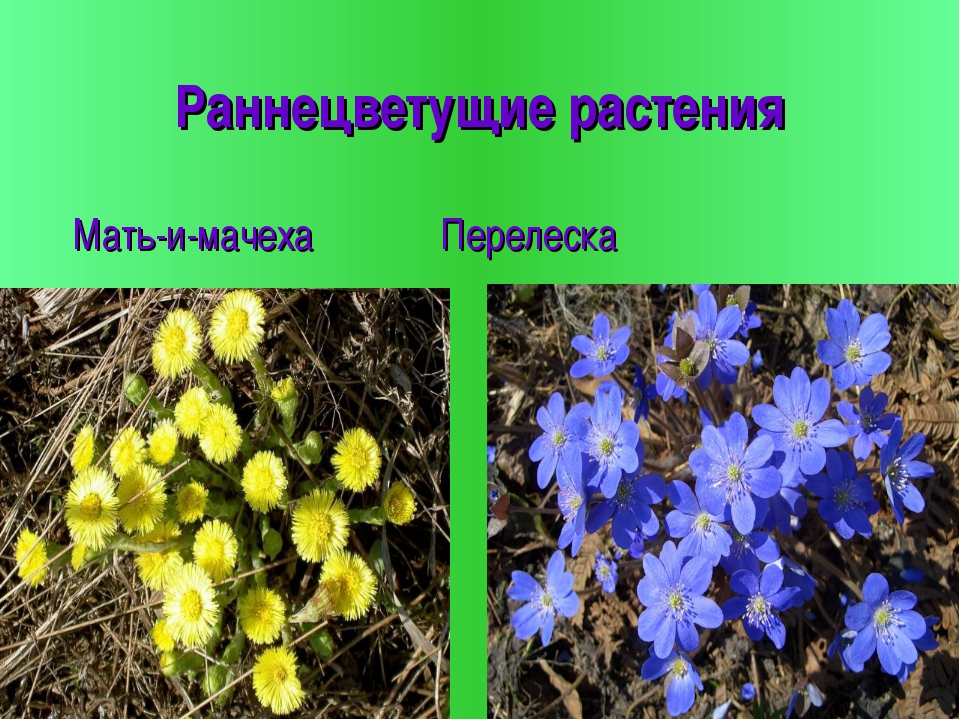 Раннецветущие растения Мать-и-мачеха Перелеска
