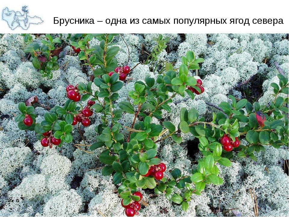 Брусника – одна из самых популярных ягод севера