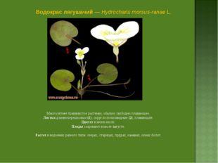 Водокрас лягушачий — Hydrocharis morsus-ranae L. Многолетнее травянистое раст