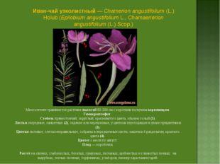 Иван-чай узколистный — Chamerion angustifolium (L.) Holub (Epilobium angustif