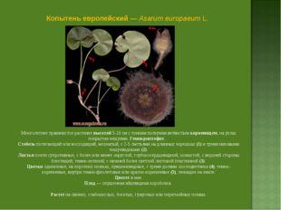 Копытень европейский — Asarum europaeum L. Многолетнее травянистое растение в