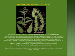 Крапива двудомная — Urtica dioica L. Многолетнее двудомное растение с ползучи