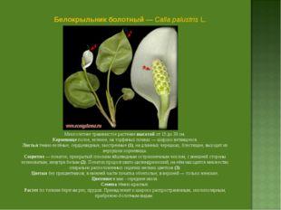 Белокрыльник болотный — Calla palustris L. Многолетнее травянистое растение в